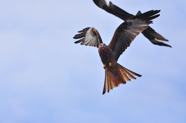Red kite, feeding