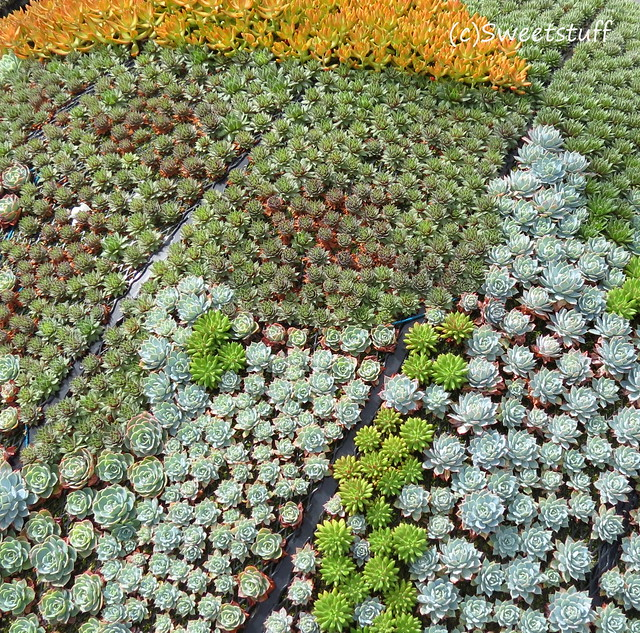 Close up of planted succulents