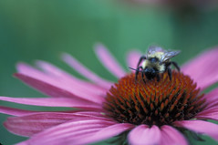 Bee on Echinacea Flower