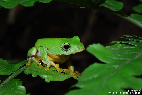 台北樹蛙(6)