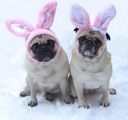 Pug Easter Bunnies
