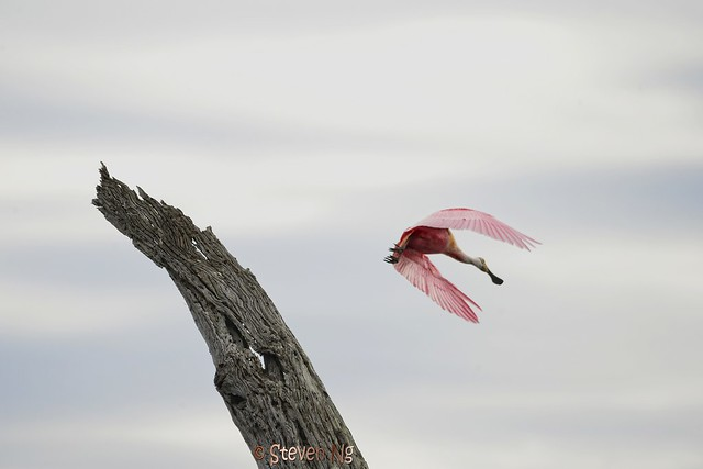 Roseate Spoonbill and dead bald cypress