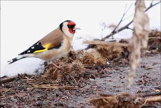 European Goldfinch - Stieglitz ...