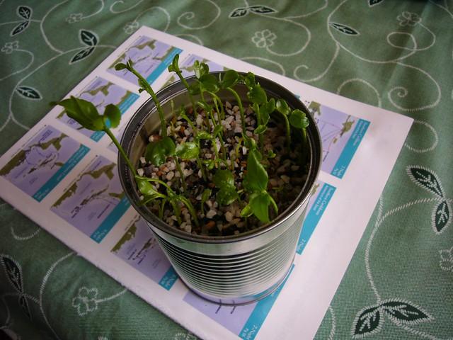 種子盆栽 (檸檬)