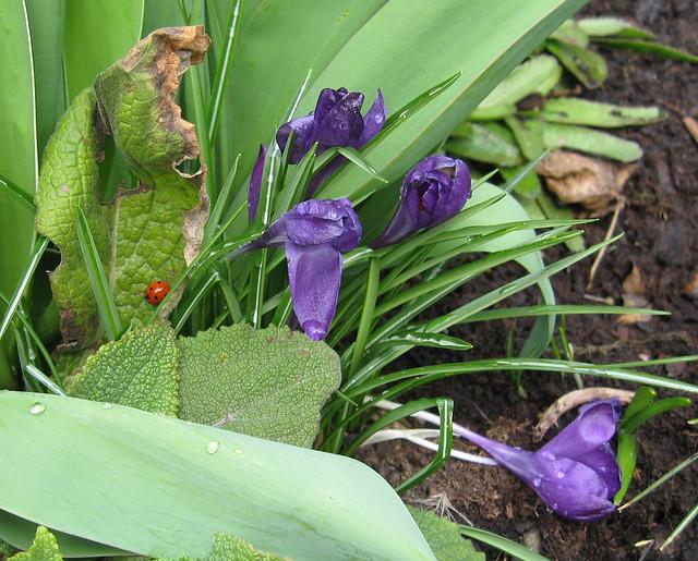 Marienkäfer und Krokus im Garten