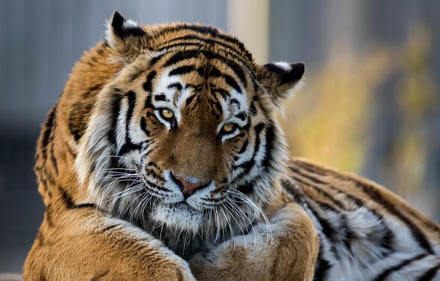 Amur Tiger - Captive - Yorkshire Wildlife park