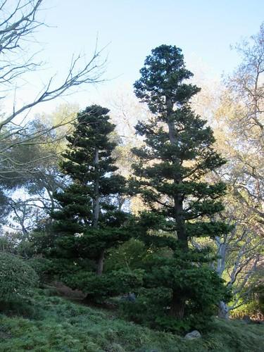 Hakone Japanese Gardens, Saratoga, CA, tree IMG_2366