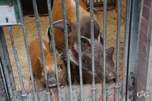 152 junges Pinselohrschwein