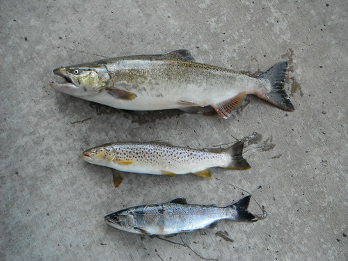 Assorted salmonids from trail creek for Indiana fish farms