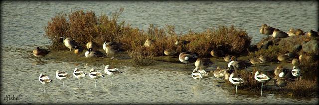 Bird Melange, Bolsa Chica Wetlands, Huntington Beach, California  USA  Dec., 2012