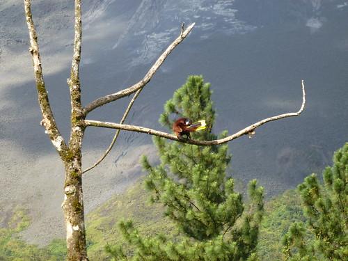 Cerro Chato Trail - Montezuma Oropendola 2
