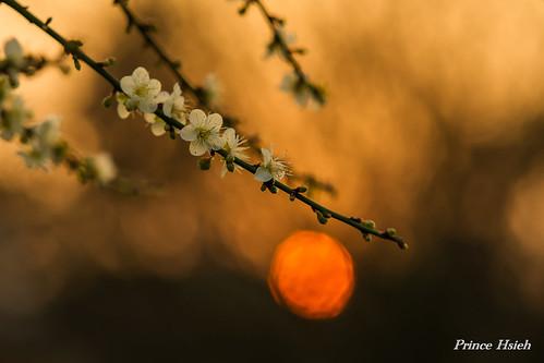taiwan sonya850 sony135zaf18 台中市雙十國中 taichungcitymunicipalshuangshihjuniorhighschool 夕照寒梅 sunsetofplumblossoms