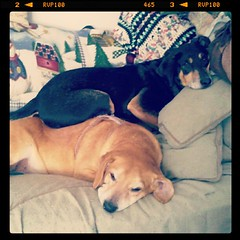 Hound Dog Pig Pile! #hounds #rescue #adoptdontshop #dogs #dogstagram #love #lazy #cuddle