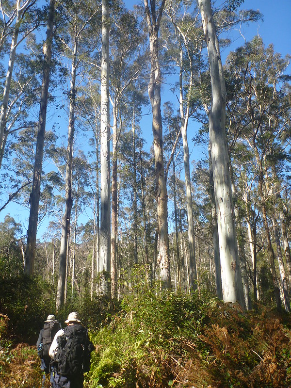Entering the Blue Gum Forest