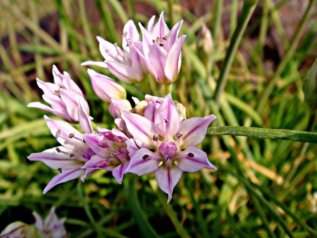 Allium Canadense Wild onion | Flickr - ...