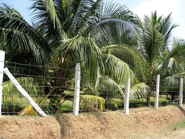 Short coconut trees