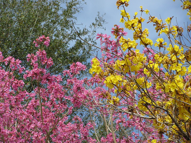 Lovely pink and yellow tabebuia