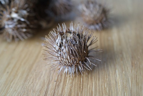 Burdock seed head containing Metzneria lappella larva