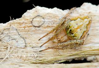 Orb Weaver Spider (Araneidae) - DSC_6747