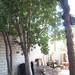 Garden Inventory: Ficus benjamina - 6