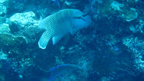 Napoleon Wrasse at barracuda point