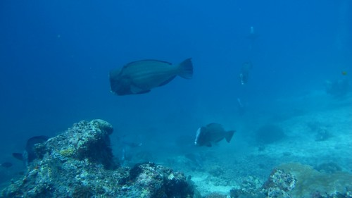 Bumphead Parrotfish in Sipadan