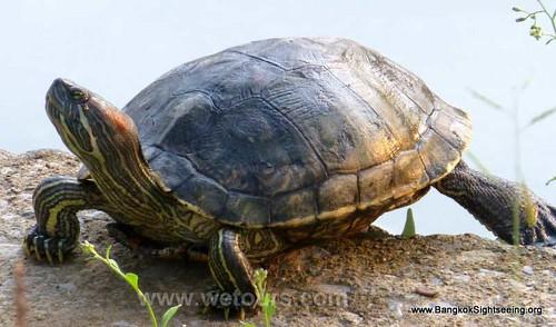 lumpini park turtle in Bangkok