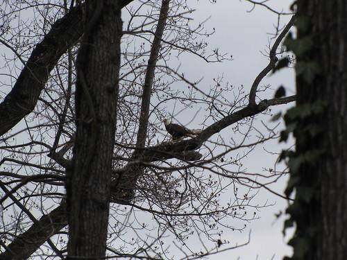 Morningside Resident Bald Eagle