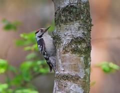 animal, perching bird, branch, tree, nature, macro photography, green, fauna, close-up, woodpecker, beak, bird, wildlife,