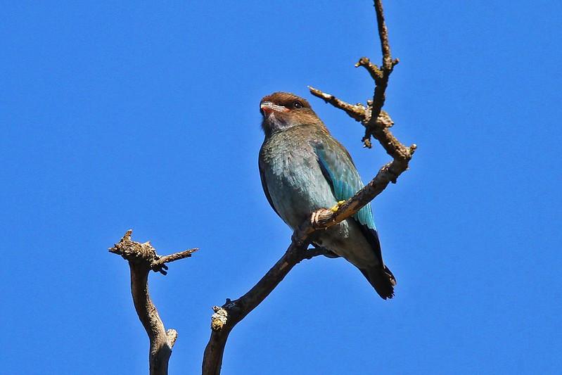 Dollarbird juvenile N Bartlett