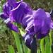 Irises / Lírios