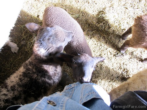 All in a day (2) - My other bottle lamb, taking a bite out of my jacket - FarmgirlFare.com