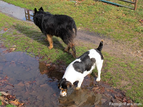 All in a day (5) - Mud puddles beat water bowls every time - FarmgirlFare.com