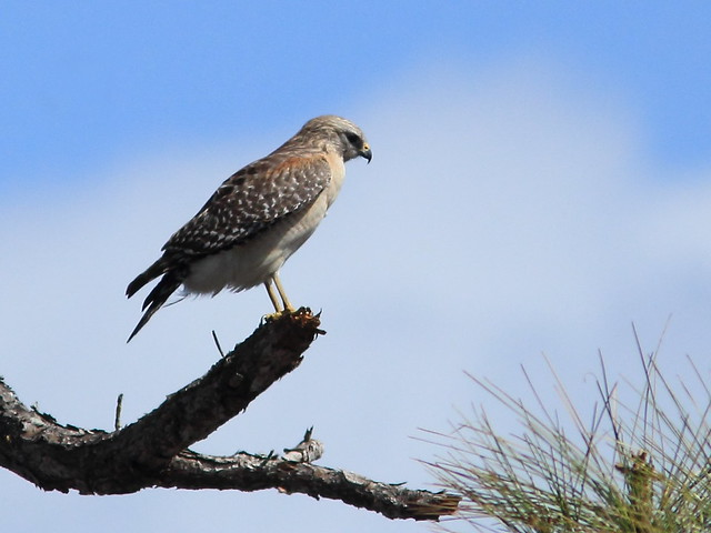 Red-shouldered Hawk 20130311