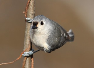Tufted titmouse stare