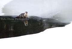 Otter, Lamar River