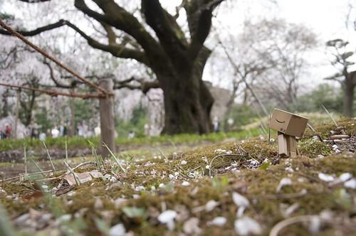 枝垂桜とダンボー