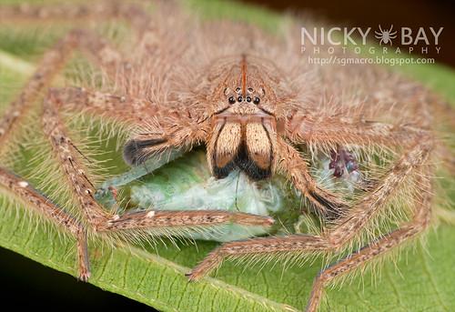 Huntsman Spider (Sparassidae) - DSC_9176
