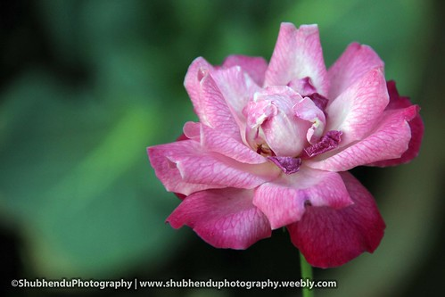 rose... by ShubhenduPhotography