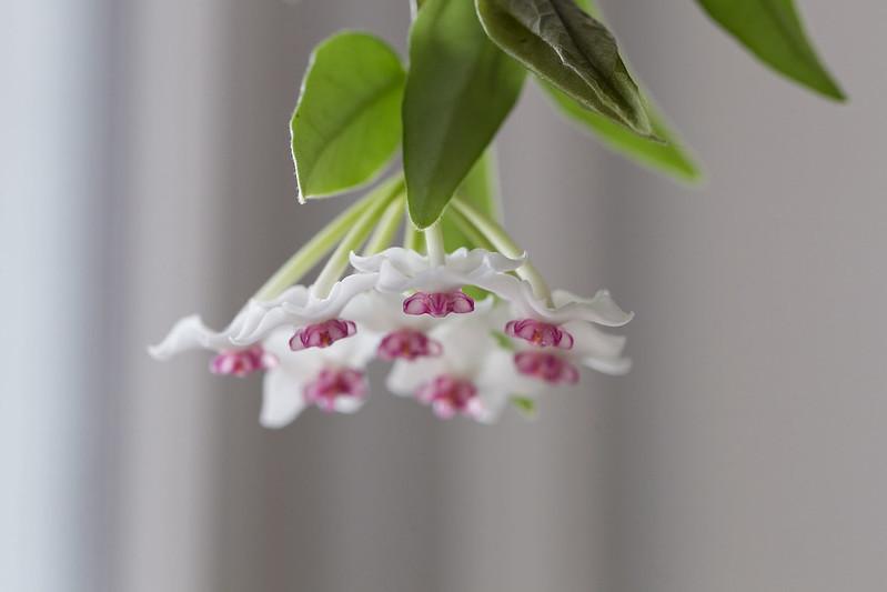 Hoya lanceolata Bella