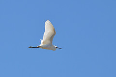 Skala Kallonis - Great Egret