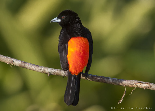 Ramphocelus flammigerus male (Flame-rumped Tanager)