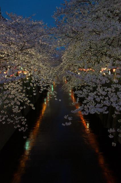 桜咲く目黒川の春景色