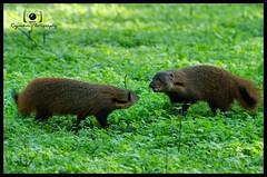 Ruddy Mongoose  #iamnikon #nikond7000 #nikonindiaofficial #nikonindia #IAMNikon #rajasekar_photography #travelphotography #instatravel #wildlife_photography #wildlife #instawildlife #mongoose #kabini