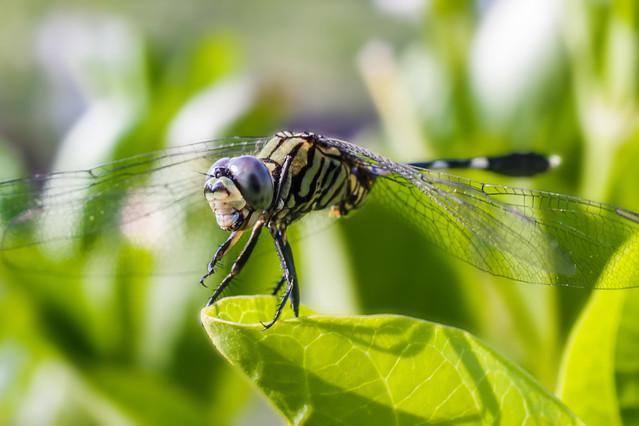Dragonfly Smile - Joker