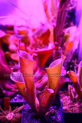 最佳led植物生長燈-食蟲植物專用