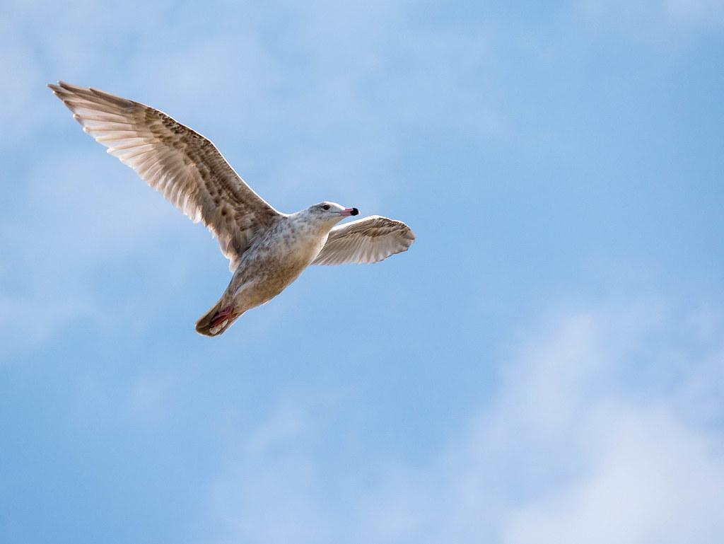 ウミネコの幼鳥の飛翔