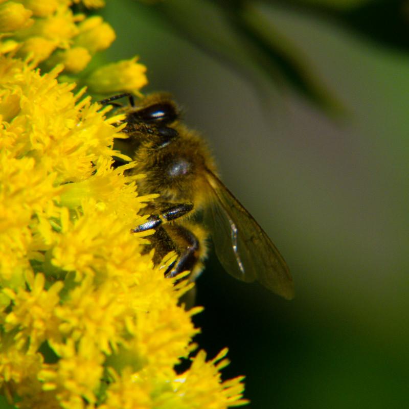 Honey bee on golden rod flowers