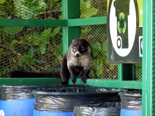 Selvatura Park - coati