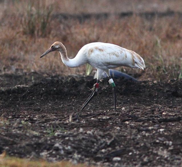 Whooping Crane 13-12 Tussock female 20130106